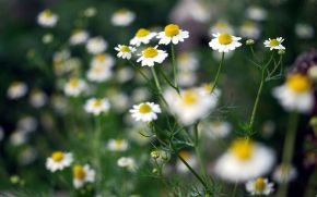 Chamomile flower lotion